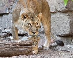 Protective_lion